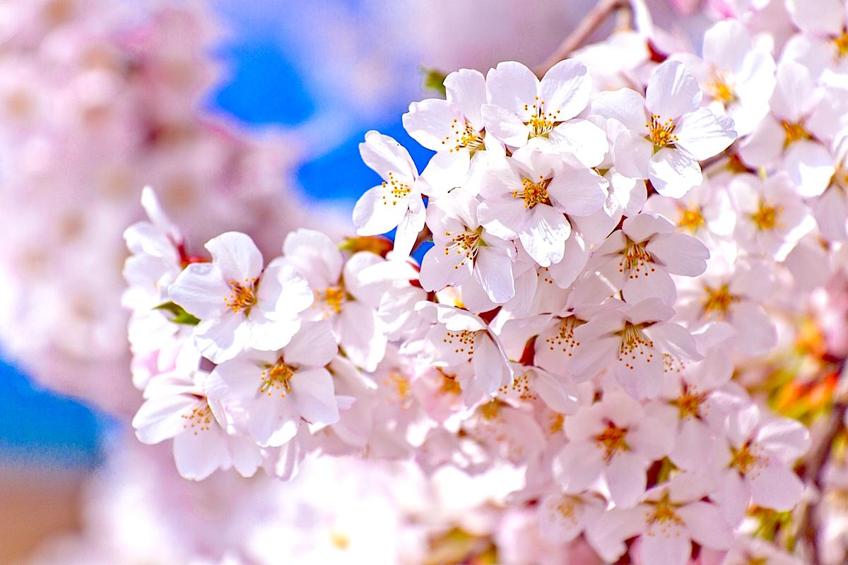 桜の花コンペ